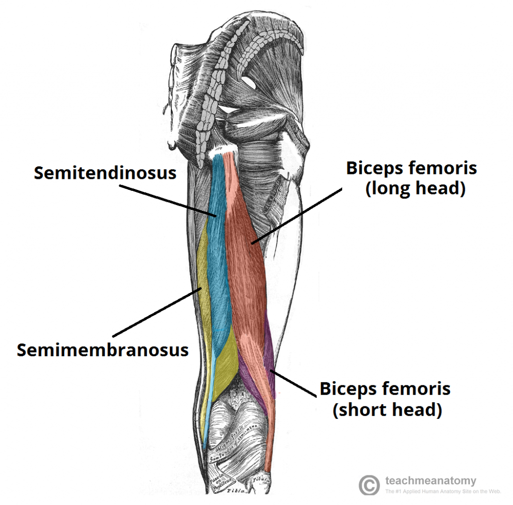 Muscles of the Posterior Thigh - Hamstrings - Damage ...