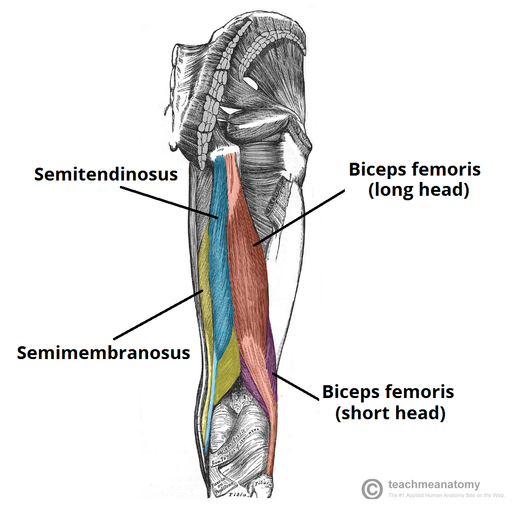 Fig 1 - The muscles of the posterior thigh.