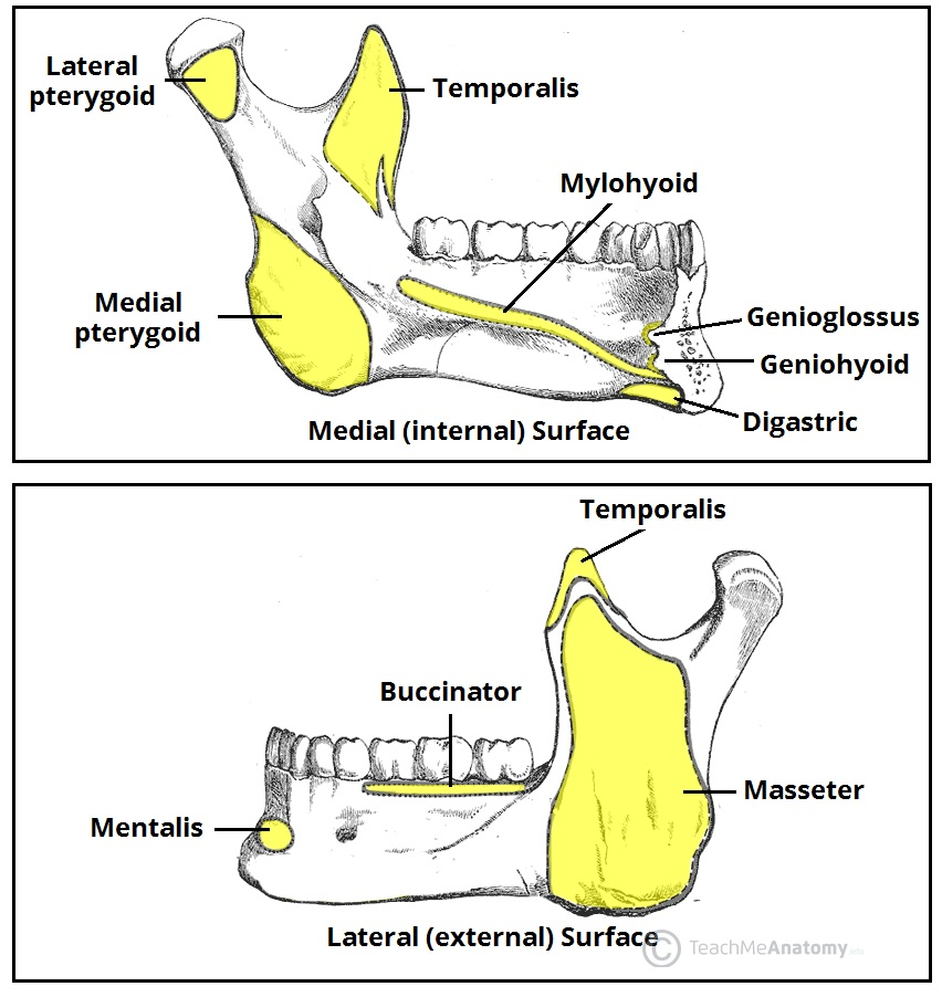 Fig 3 - Muscular attachments to the mandible.