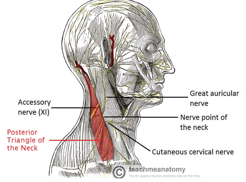 Figure 3 - Nerves within the posterior triangle of the neck.