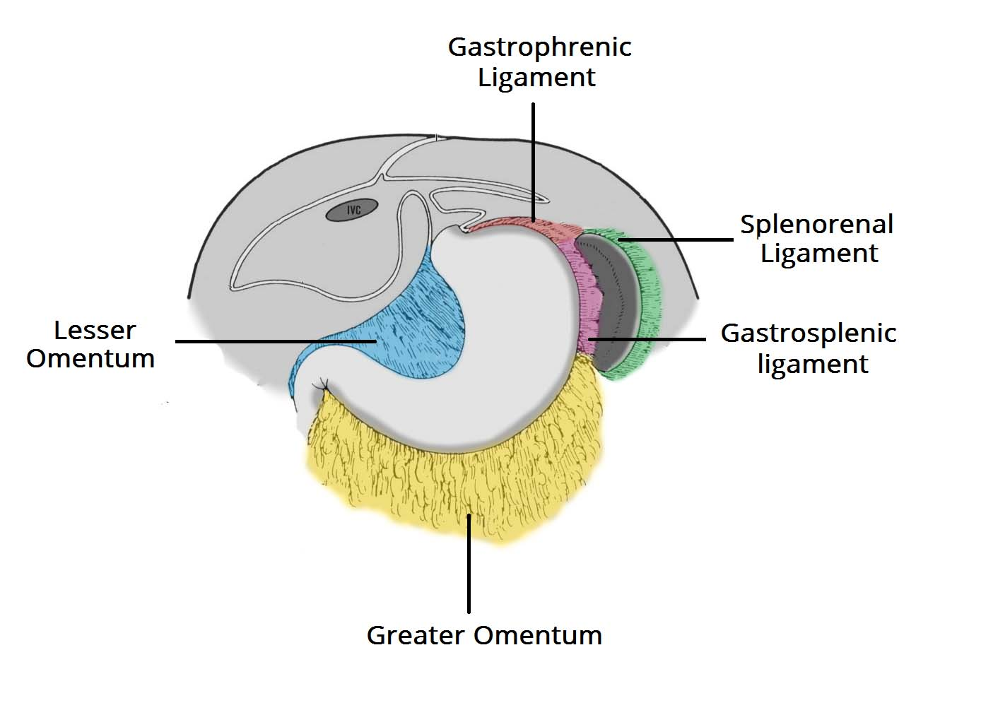 The Peritoneum - Visceral - Parietal - TeachMeAnatomy