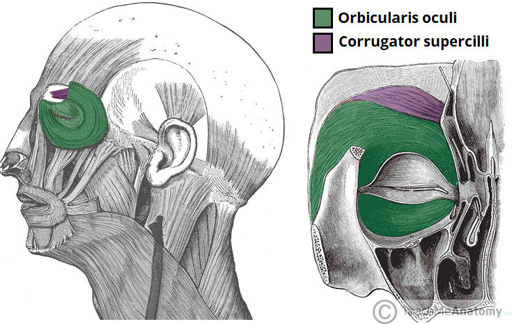 The Muscles Of Facial Expression Orbital Group Nasal Group Oral Group Teachmeanatomy
