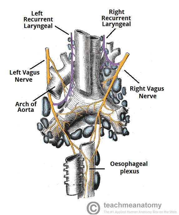 Fig 1.1 - The origin of the recurrent laryngeal nerves