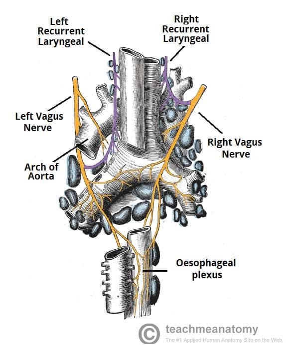 The Vagus Nerve (CN X) - Course - Functions - TeachMeAnatomy