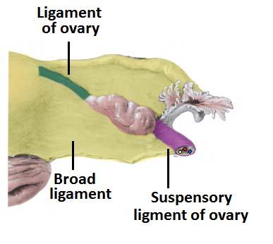 the ovaries - structure - ligaments - vascular supply - function, Muscles