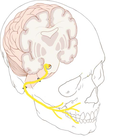 Fig 1.0 - Overview of the anatomical course of the facial nerve