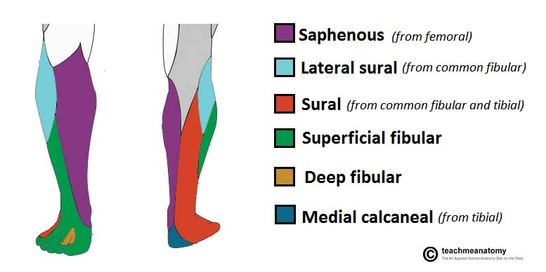 Fig 1.2 - Overview of the cutaneous innervation of the leg. Note that the saphenous and medial calcaneal nerves are not branches of the common fibular nerve.