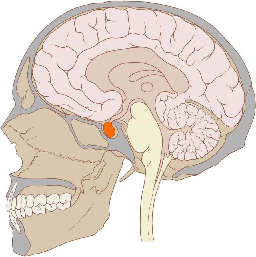 Fig 1.0 - The pituitary gland.