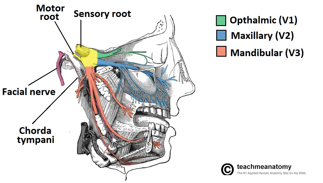 Fig 1.1 - Overview of the distribution of the trigeminal nerve and its terminal branches