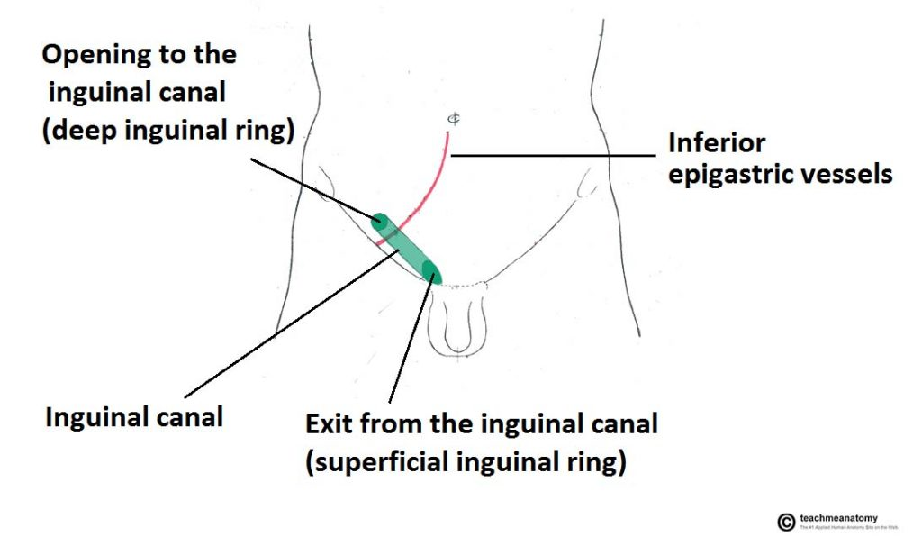 epigastric artery location celiac artery location