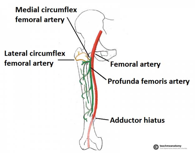 The Lower Limb - TeachMeAnatomy