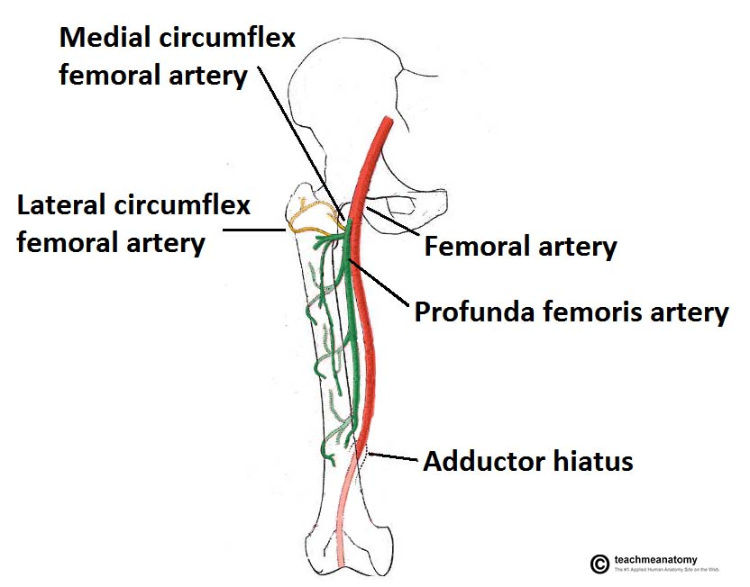 Fig 1.0 - The anatomical course of the femoral artery, and its branches.