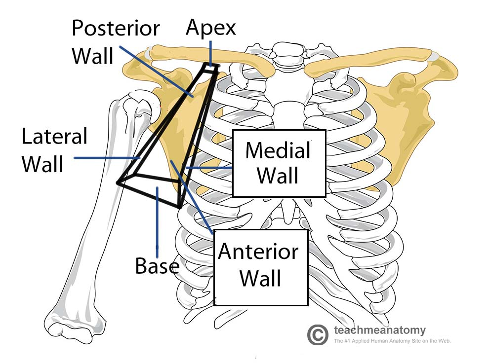 Fig 1 - Anterior view of the right axilla region. Note the pyramidal shape, with 6 borders (or sides).