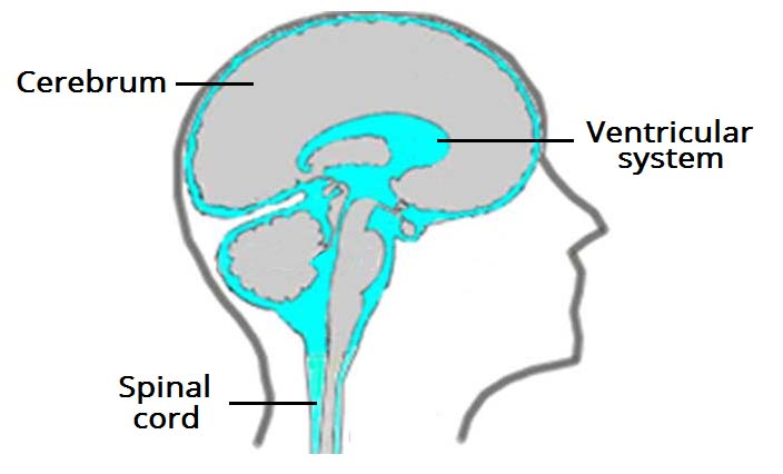 the ventricles of the brain - lateral - third - fourth, Human Body