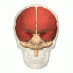 Fig 1. 0 - Anatomical position of the cerebrum.