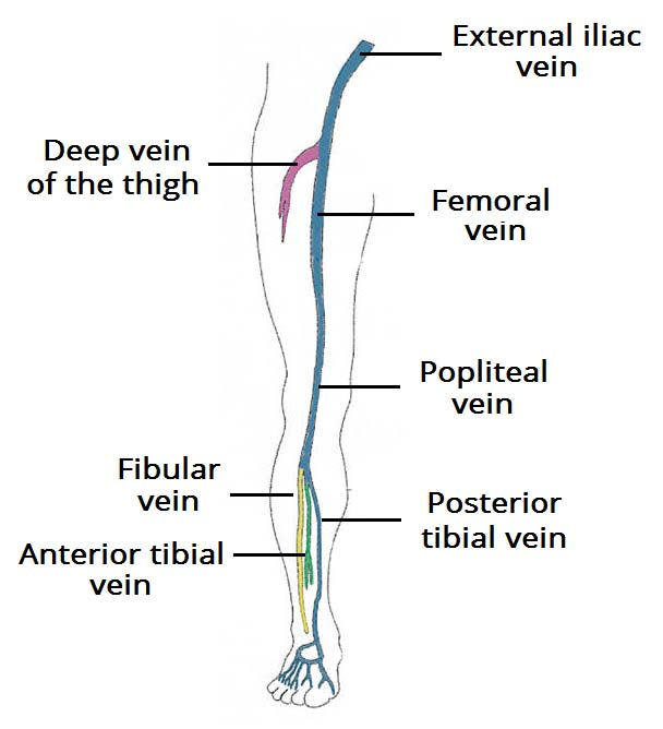 deep veins of lower leg