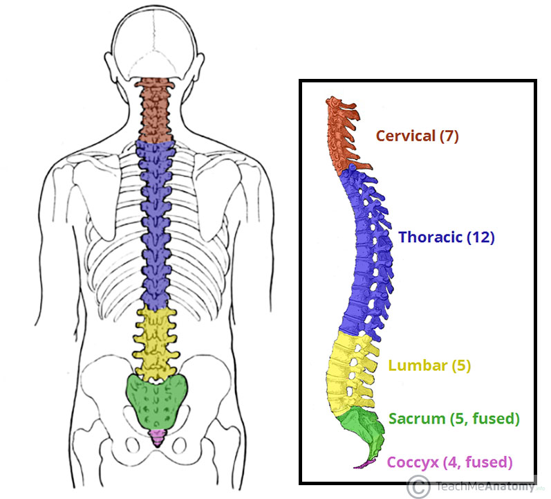 Fig 1.0 - The vertebral column viewed from the side. The five different regions are shown and labelled.