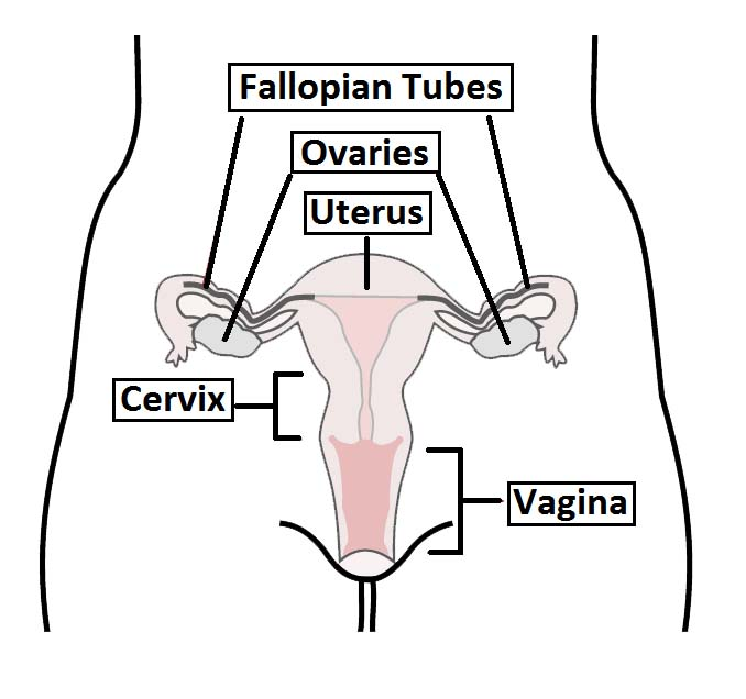 Fig 1.0 - Overview of the female reproductive tract.