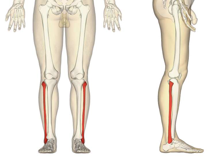 Bones Of The Lower Limb Teachmeanatomy