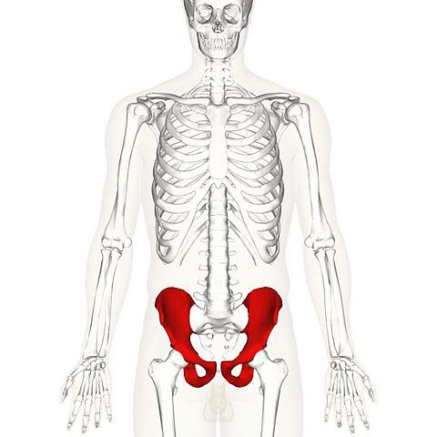 Fig 1.0 - Overview of the anatomical position of the hip bones.
