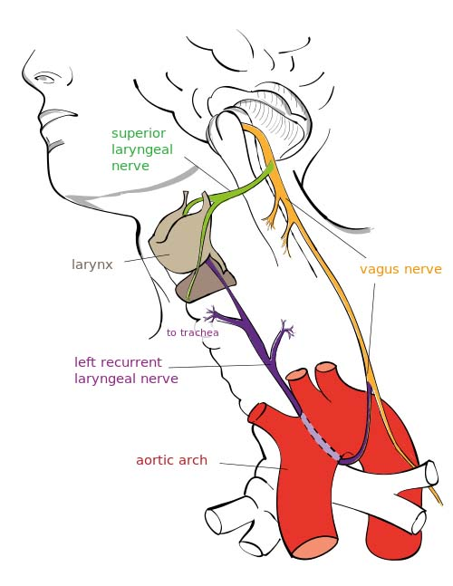 Fig 1.0 - Overview of the major branches of the vagus nerve