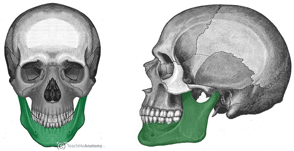 Fig 1 - Anterior and lateral views of the mandible within the facial skeleton.