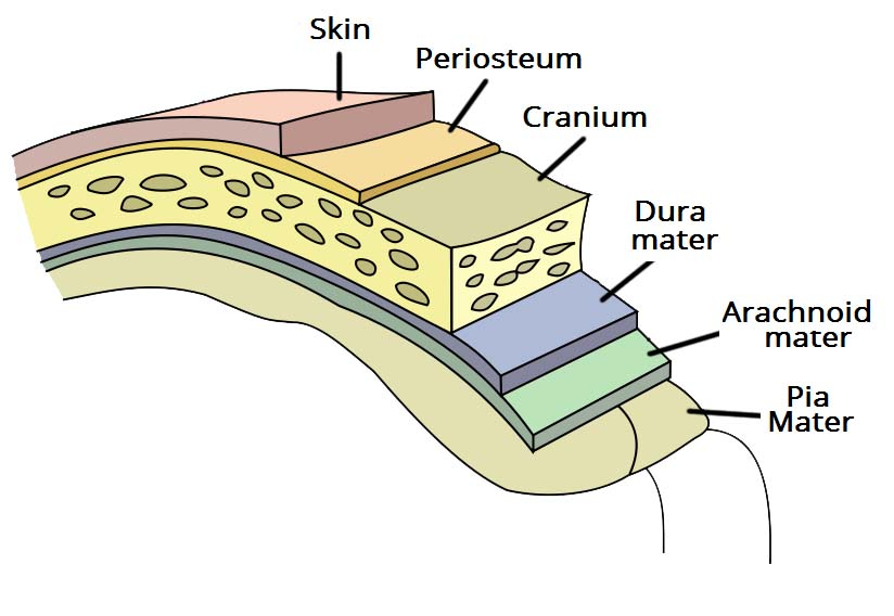 Fig 1.0 - Overview of the meninges, and their relationship to the skull and brain.