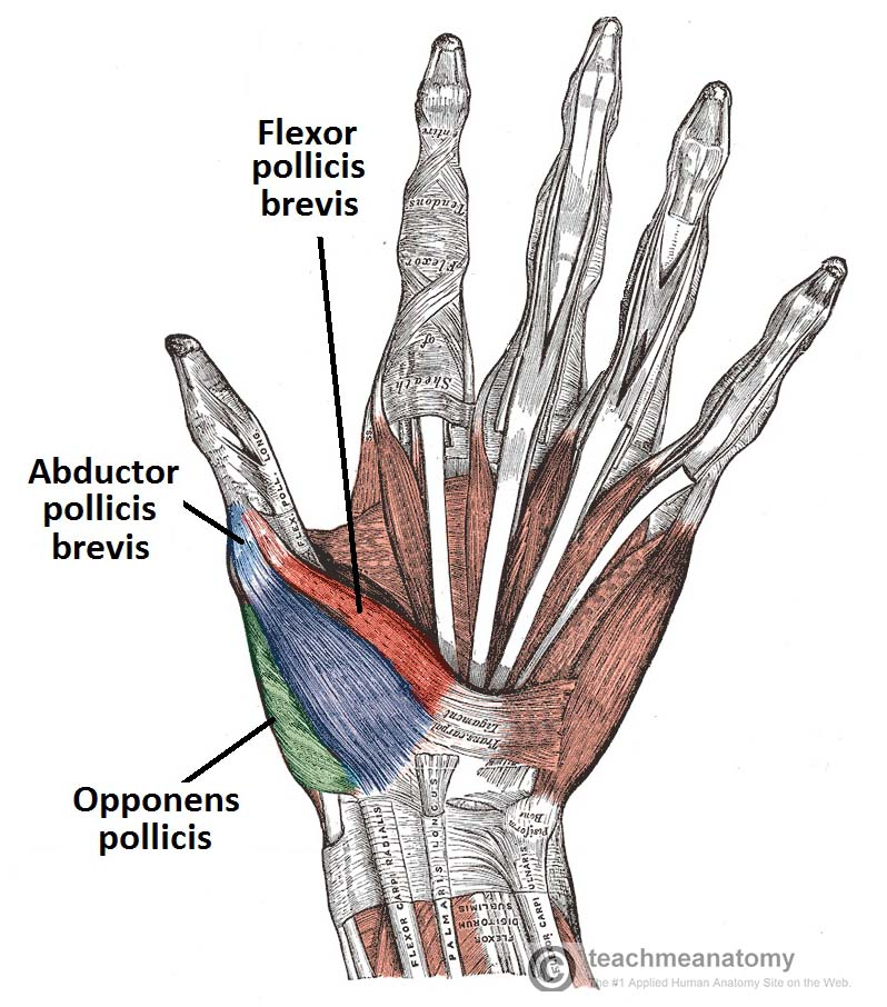 Figure 1 - Palmar view of the thenar muscles.