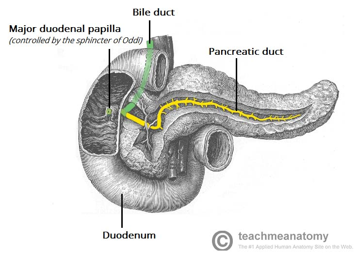Fig 1.3 - The exocrine pancreas, secreting into the duodenum