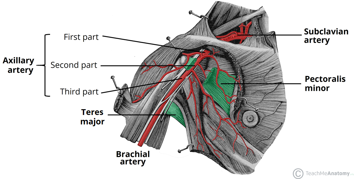 Arterial Supply To The Upper Limb Subclavian Brachial
