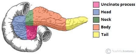 The Pancreas - Anatomy - Duct System - Vasculature ... Uncinate Process Pancreas Anatomy