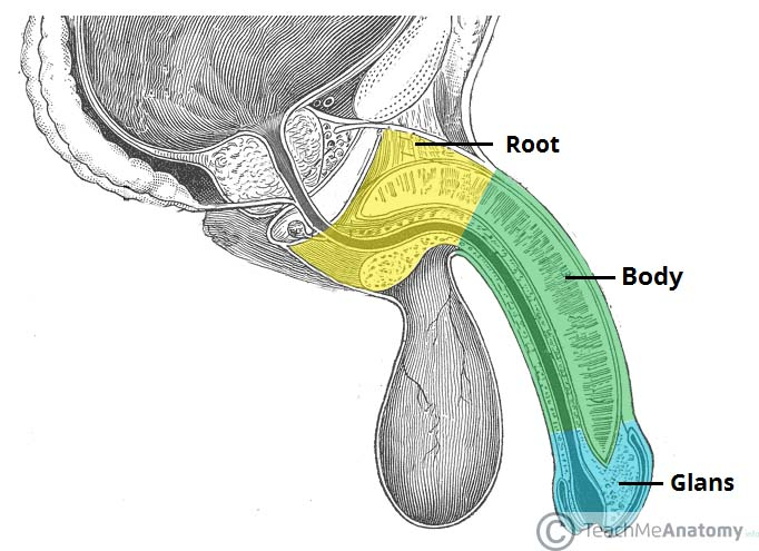 Correct position of an erect penis