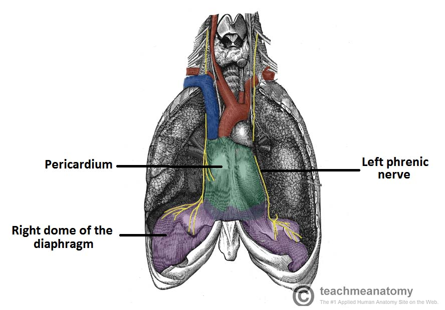 The Diaphragm - Actions - Innervation - TeachMeAnatomy