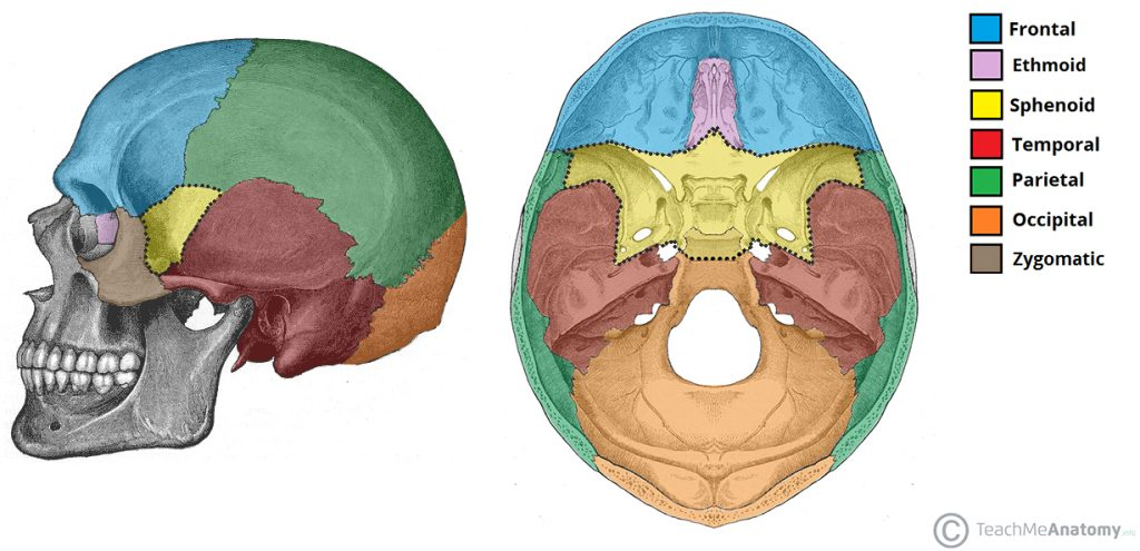 Fig 1 - The position of the sphenoid bone (yellow) within the facial skeleton.