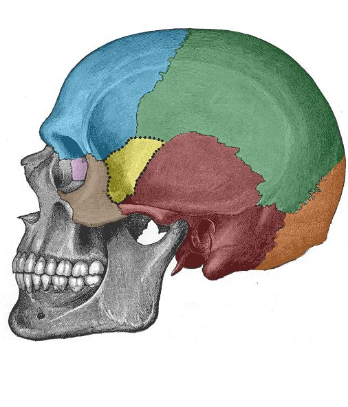 Bones of the Skull - Structure - Fractures - TeachMeAnatomy