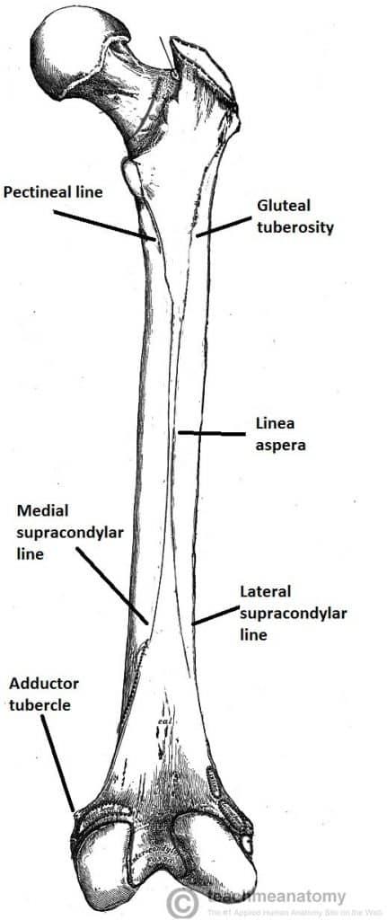 the femur - proximal - distal - shaft