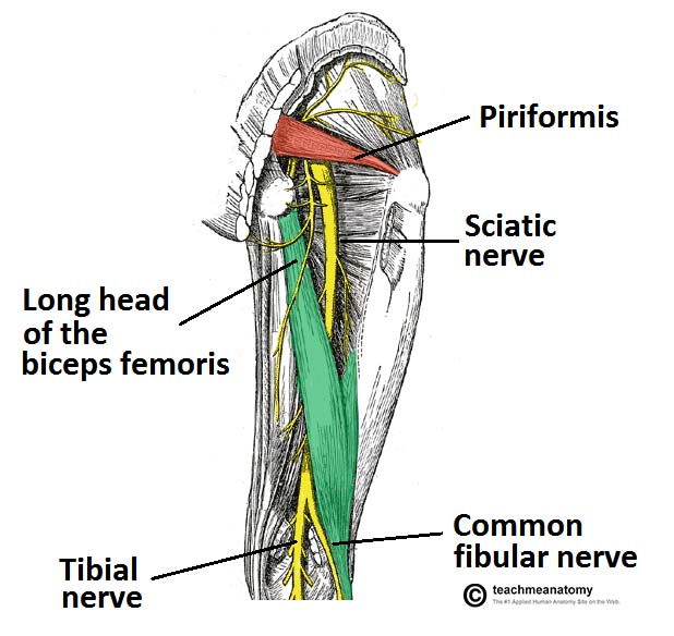 Fig 1.0 - View of the posterior thigh. The gluteus maximus and minimus have been removed to expose the sciatic nerve and underlying anatomical structures.