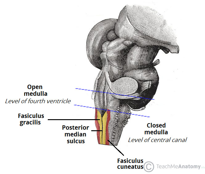 Fig 3 - The posterolateral surface of the brainstem.