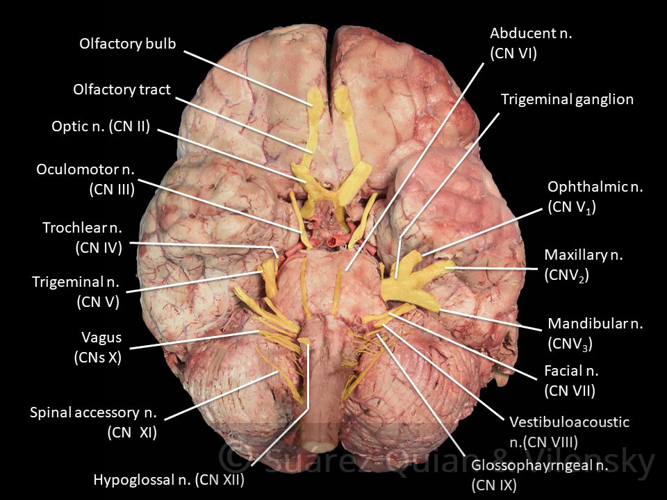 Summary Of The Cranial Nerves Teachmeanatomy