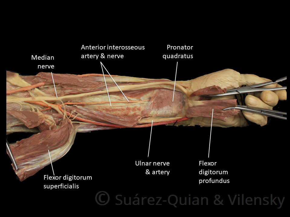 prosection 3 – the deep layer of the anterior forearm