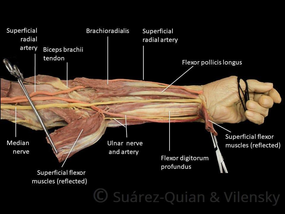Muscles Of The Anterior Forearm Flexion Pronation Teachmeanatomy