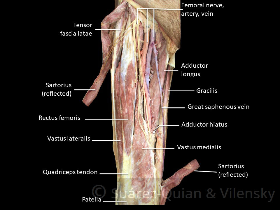 Muscles Of The Anterior Thigh - Quadriceps