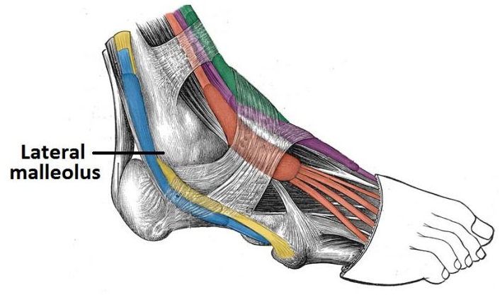 Muscles In The Lateral Compartment Of The Leg Teachmeanatomy