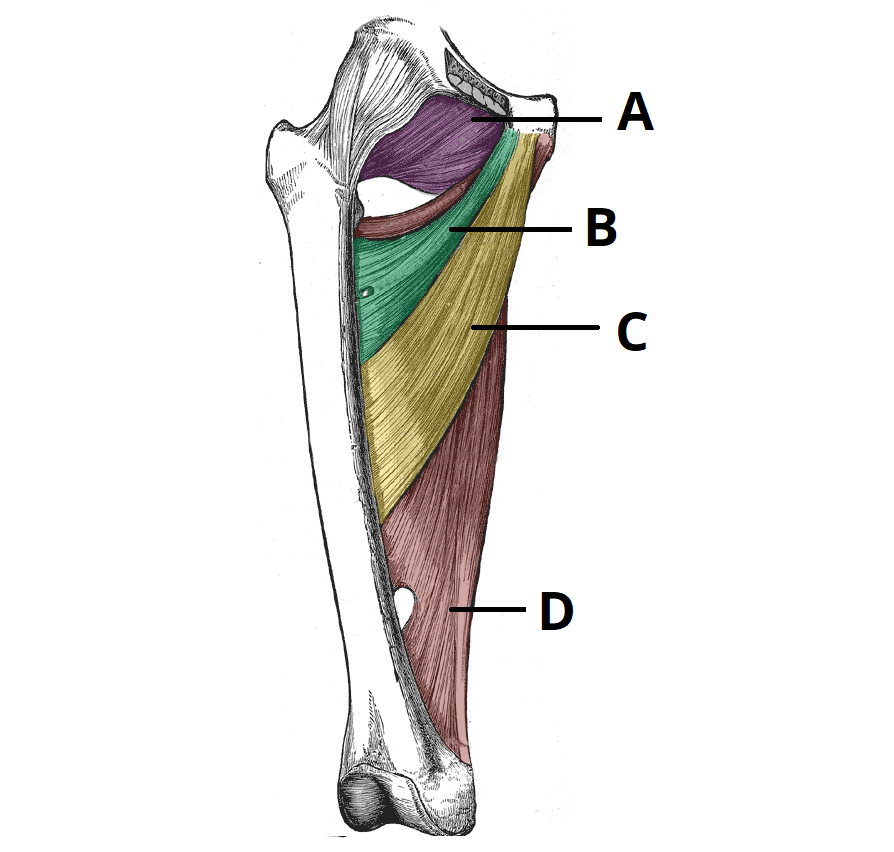 Muscles Of The Medial Thigh Teachmeanatomy
