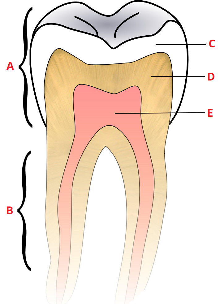 Child And Adult Dentition  Teeth  - Structure