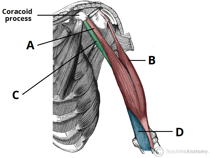Muscles of the Upper Arm - Biceps - Triceps - TeachMeAnatomy