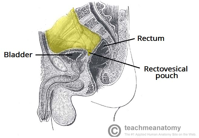 Fig 1.3 - The rectovesical pouch