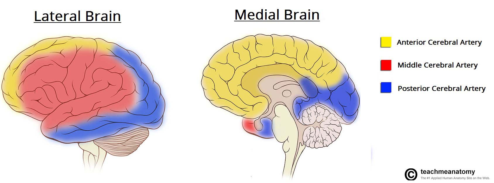 Fig 1.4 - Overview of the blood supply to the cerebrum