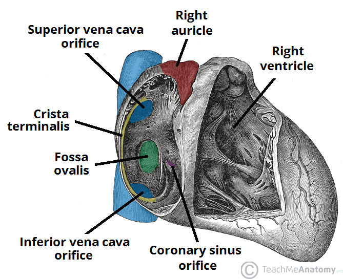 Fig 1 - The right atrium and interatrial septum. The atrium proper is only partially visible on this illustration.