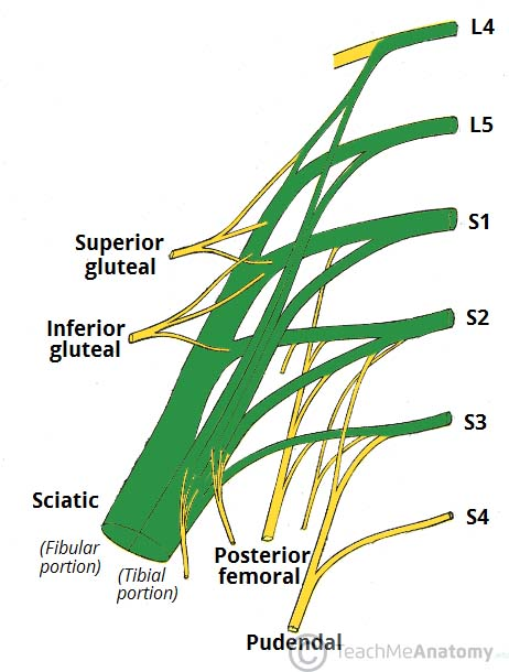 the sacral plexus - spinal nerves - branches - teachmeanatomy, Muscles